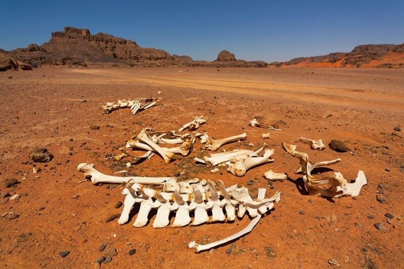 dried up animal carcass in desert landscape