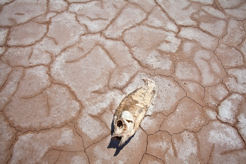 dead dried up fish during drought