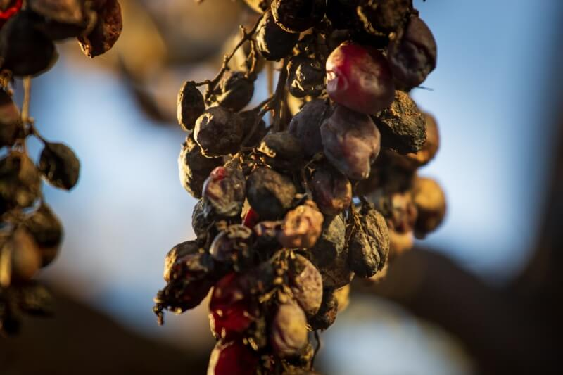 red grape dried out on vine
