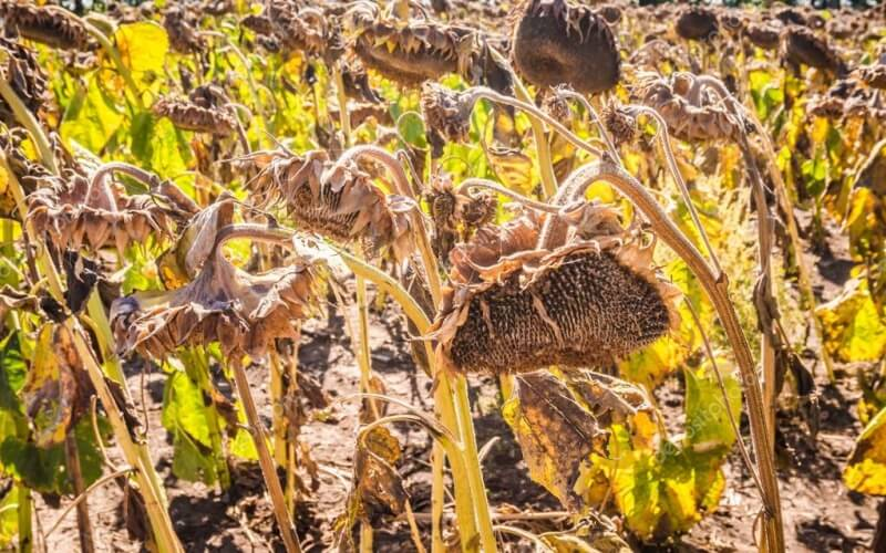 dried up sunflowers