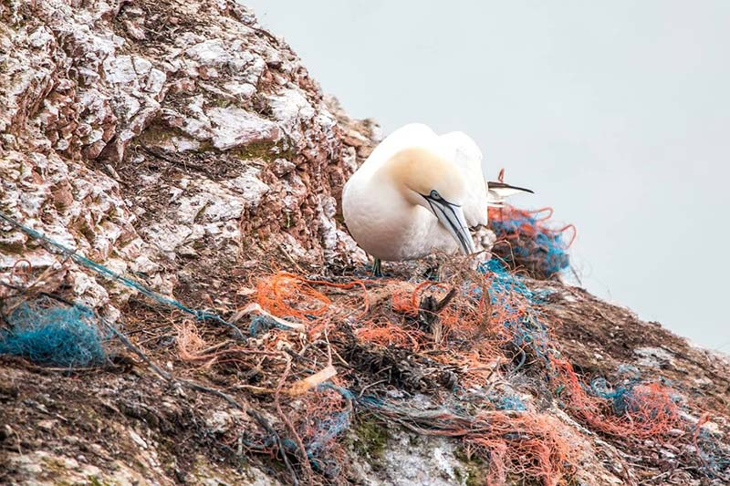 Seabird trying to create a nest with plastic waste.